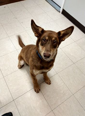 Zepher, an adoptable Shepherd Mix in The Dalles, OR