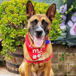 Meet Darwin This gorgeous boy is about a 5-year old 80-pound German Shepherd and possibly Malinoi
