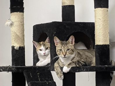 Peter and Simone, an adopted Domestic Short Hair & Tabby Mix in Kentwood, MI