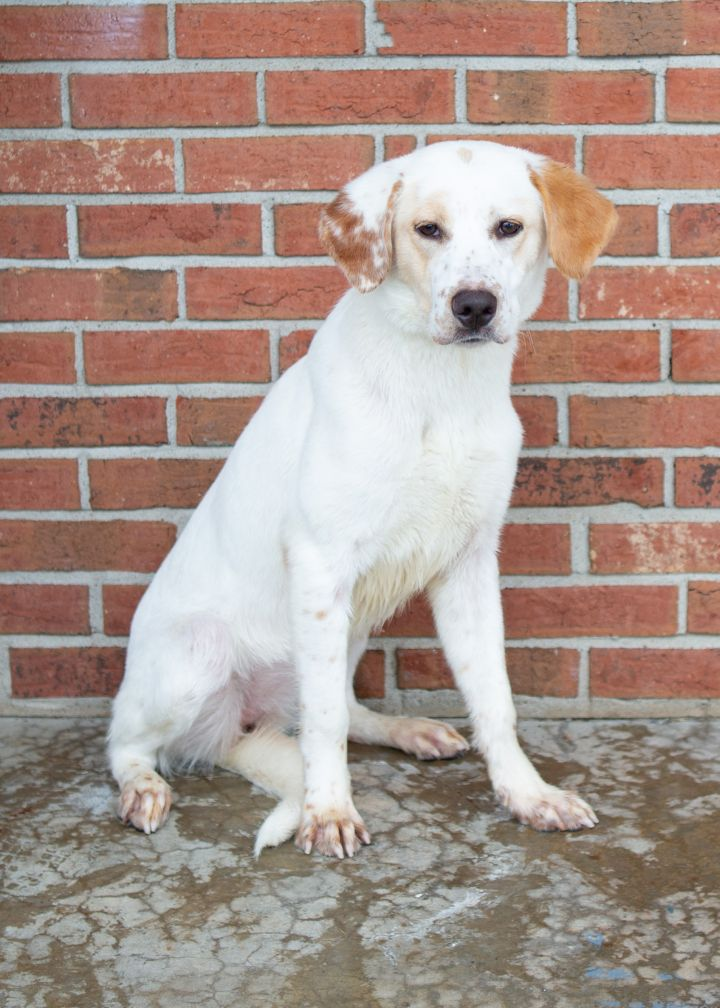 BRIT, an adoptable Mixed Breed in Cape Girardeau, MO