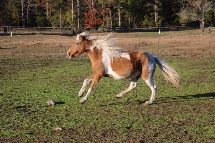 Rosie, an adoptable Miniature Horse in Hohenwald , TN