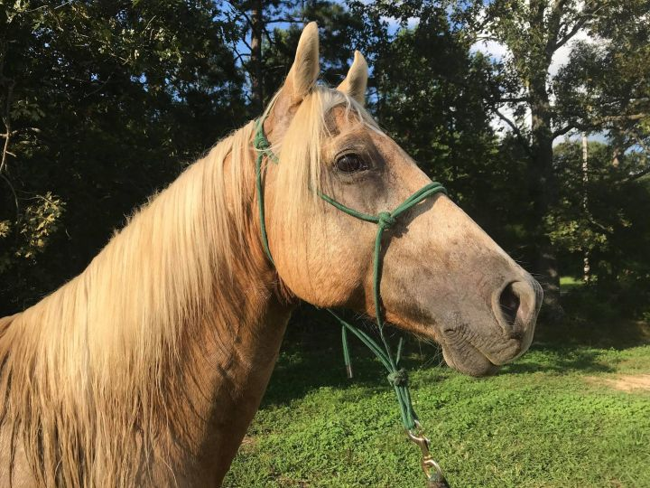 Fabio, an adoptable Quarterhorse in Hohenwald , TN