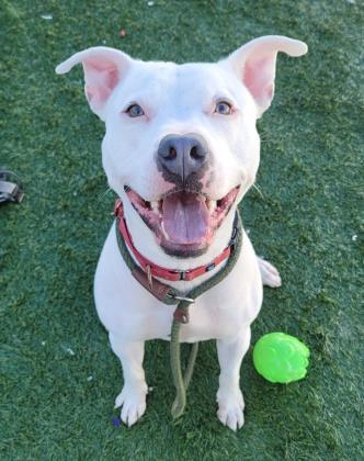Casper, an adoptable Pit Bull Terrier Mix in Clarks Summit, PA