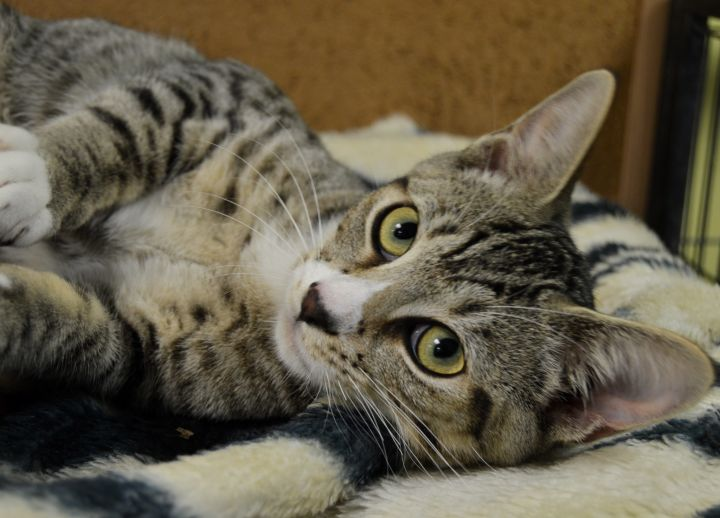Alex, an adoptable Domestic Short Hair in Patterson, NY