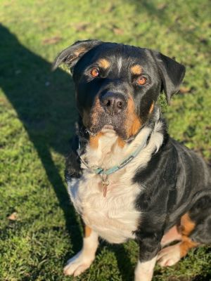Brewer is a good boy who was an owner-surrender to a shelter down in Texas He e