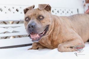 Meet Mork Mork is a Lovely Pitty mix who is about 5 years old and is full grown at around