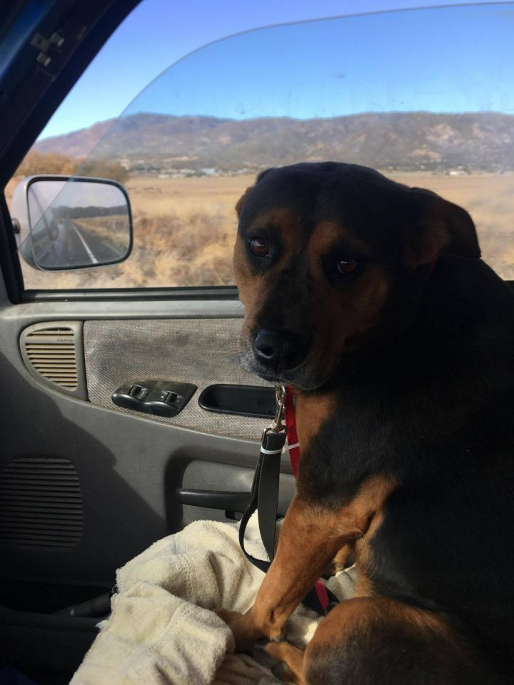 Kimber, an adoptable Rottweiler & American Bully Mix in Anza, CA