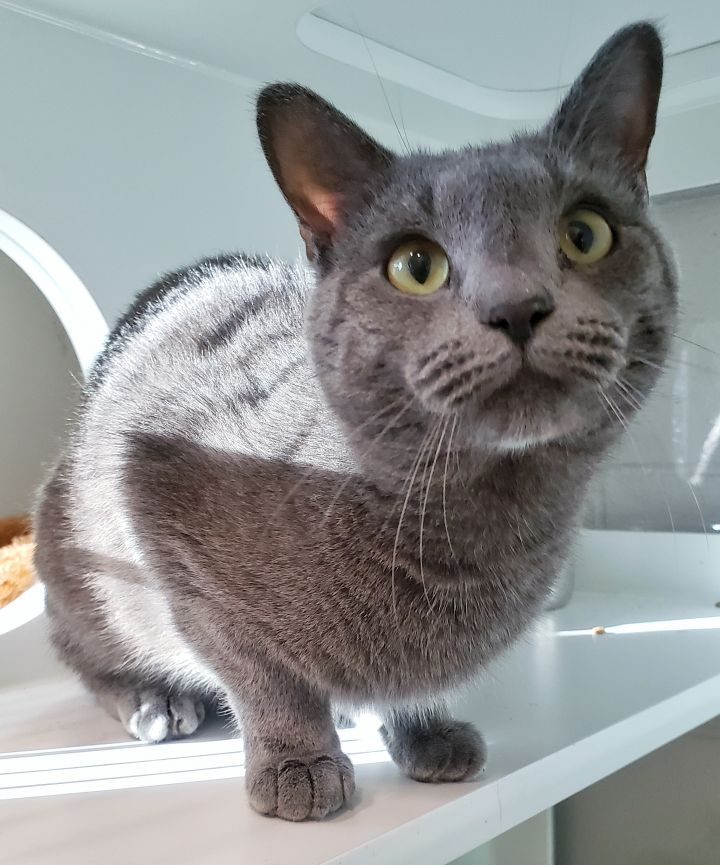 0-325 Smokey, an adopted Domestic Short Hair Mix in Amityville, NY
