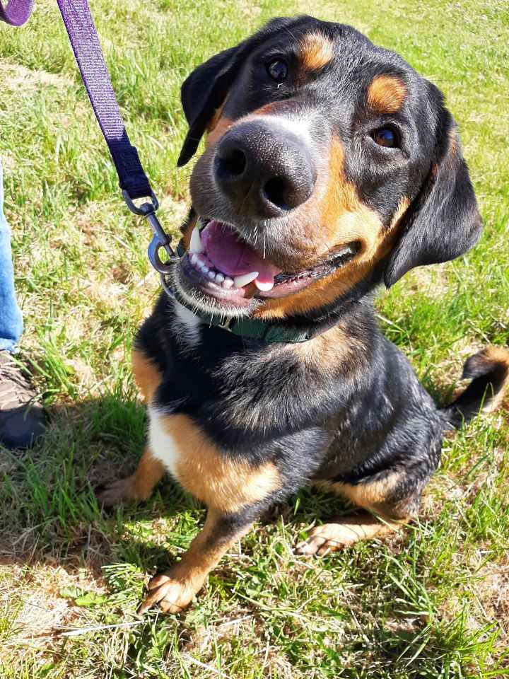 Indiana Jones, an adopted Rottweiler & Labrador Retriever Mix in Eagle, ID