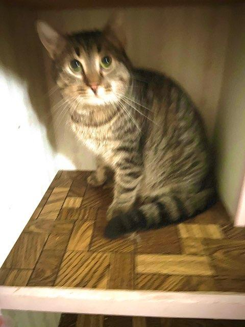 Tucker ADOPTED:), an adopted Domestic Short Hair & Tabby Mix in Waverly, IA