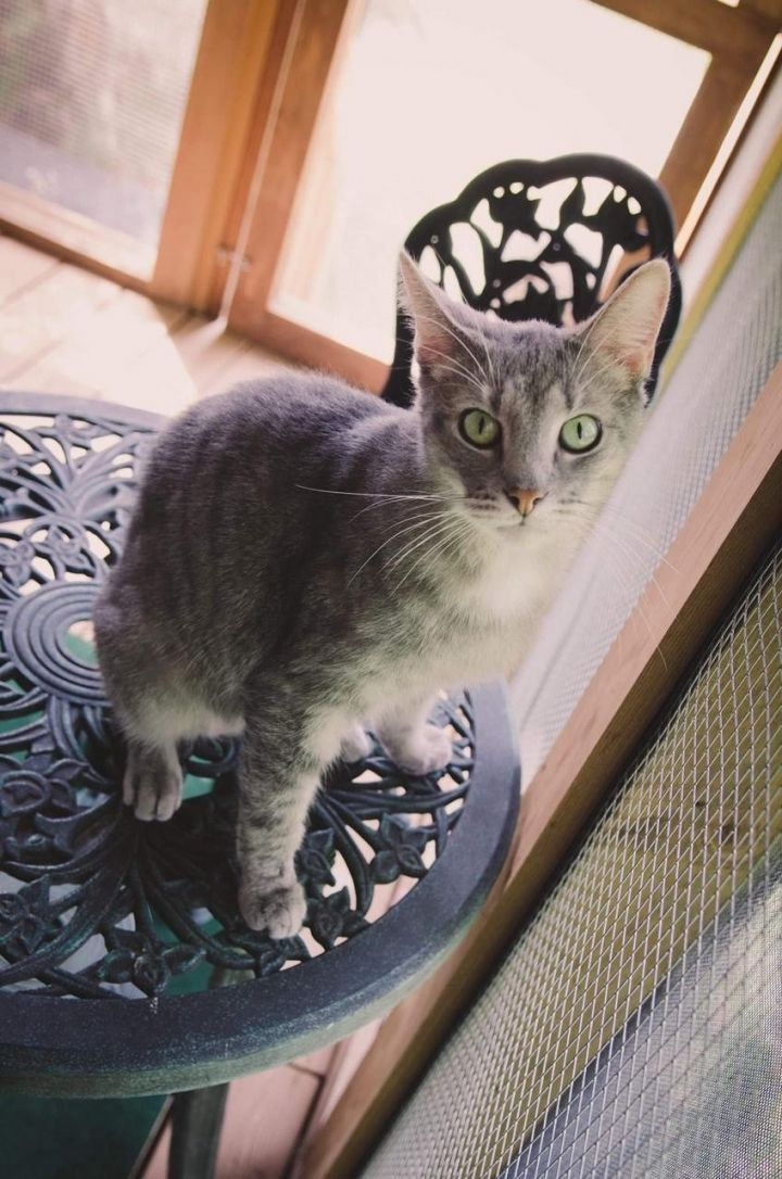 Picasso, an adopted Domestic Short Hair in Frankfort, IL