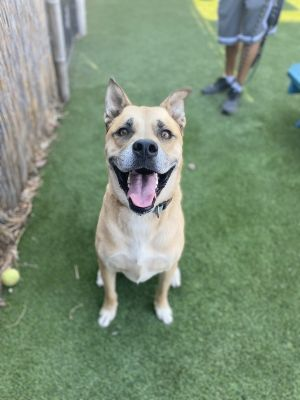 Hi my name is Morty and I am a 3-year-old MastiffPit Bull mix My friends the staff here at the