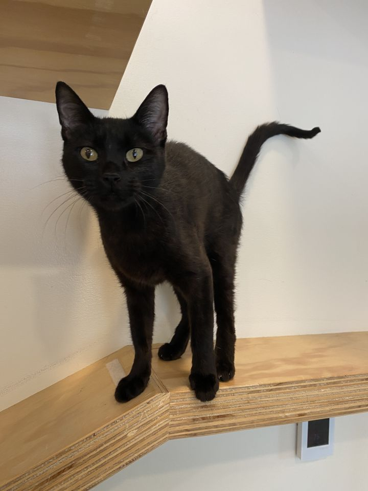 Mallory, an adoptable Domestic Short Hair Mix in Jackson, WY