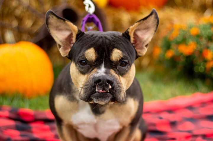 Liza Minnelli, an adopted French Bulldog Mix in Springfield, MO