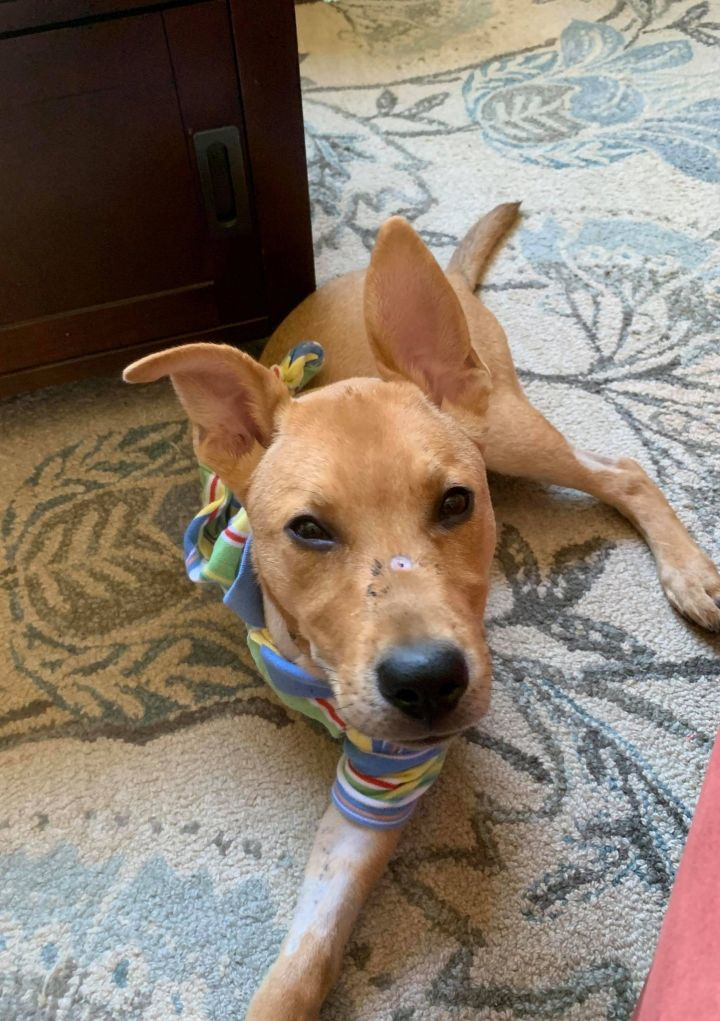 Crouton, an adopted Labrador Retriever & Shepherd Mix in Overland Park, KS