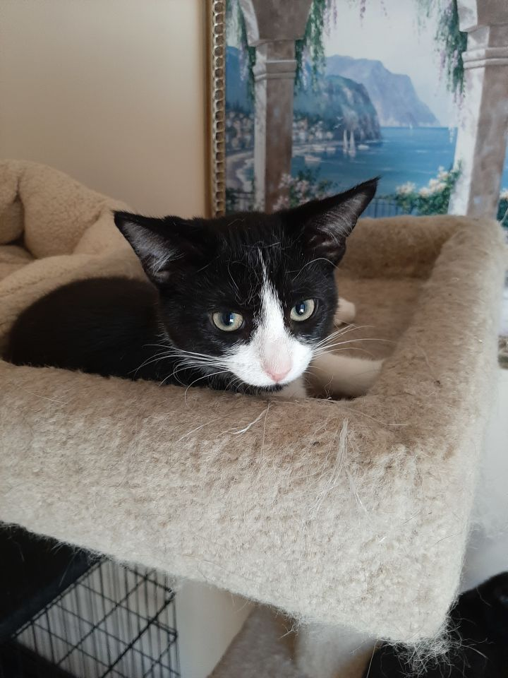 Felix, an adoptable Domestic Short Hair Mix in Bolingbrook, IL