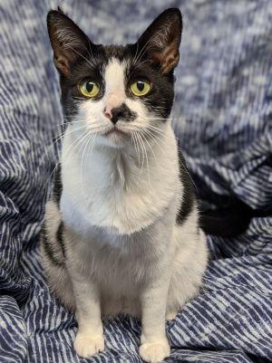 Smidgen American Shorthair Cat