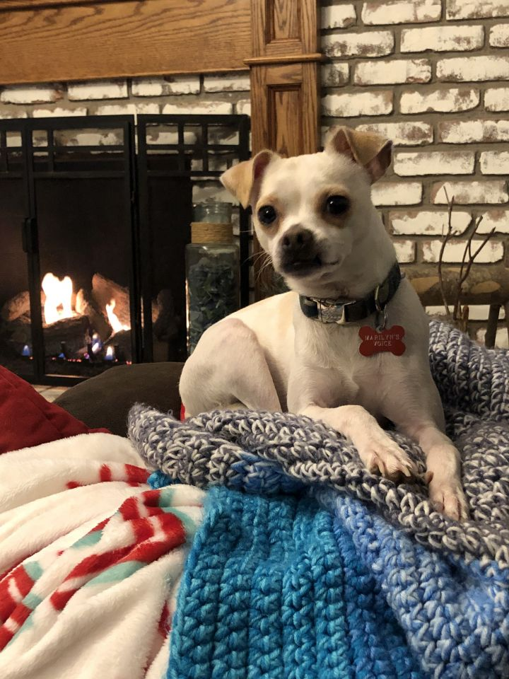 Ranger, an adoptable Chihuahua Mix in Mentor, OH