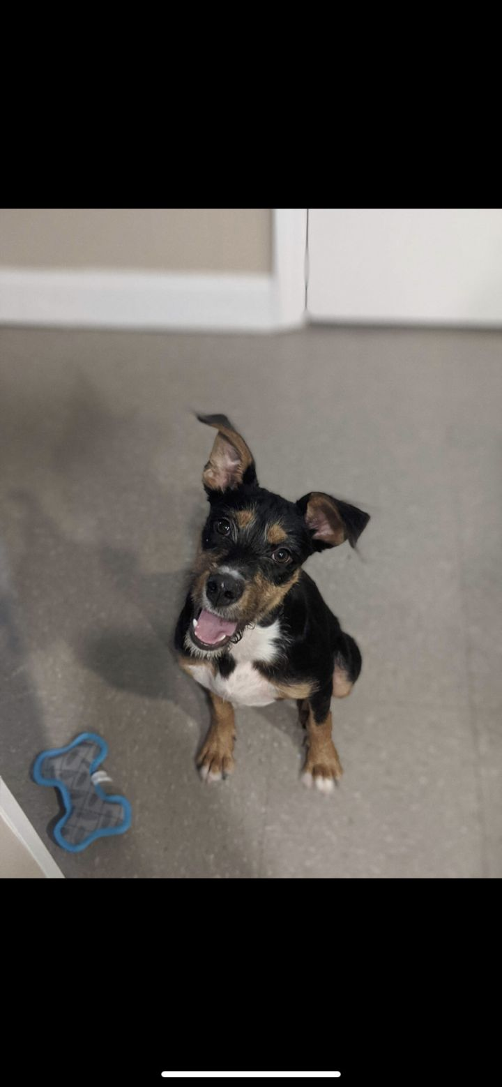 Stella, an adopted Terrier Mix in Statesboro, GA