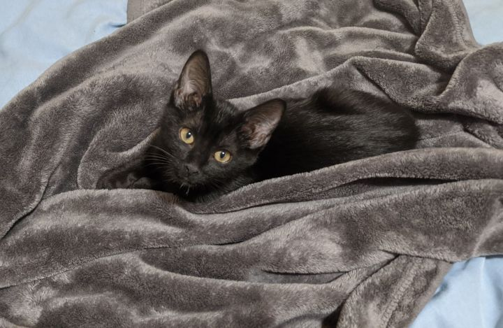 Miku, an adopted Domestic Short Hair Mix in Overland Park, KS