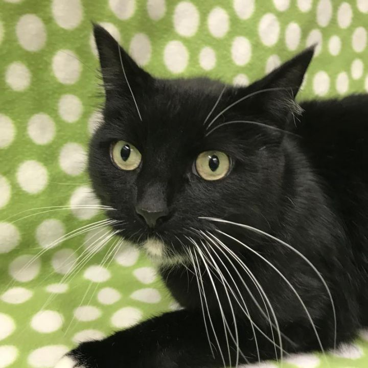Dominic, an adoptable Domestic Short Hair in Warrenton, OR