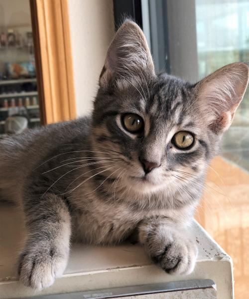 Ricky, an adopted Domestic Short Hair Mix in Monticello, IA