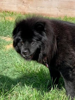 Navi is a smart stunning chow who recently joined us after her owner could no longer care for her