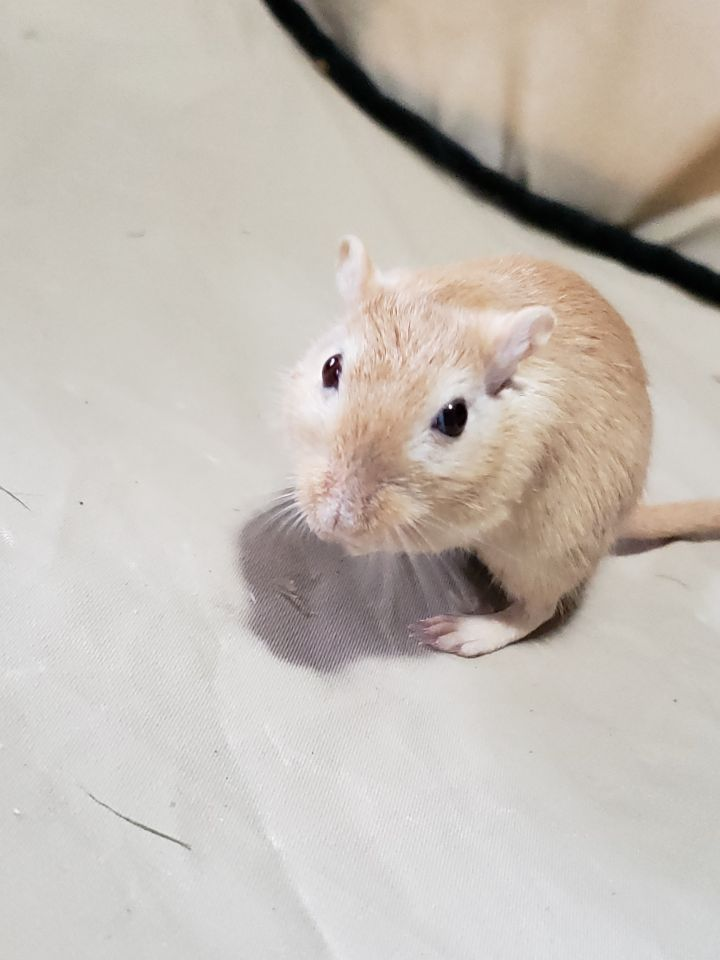 Ananas, an adoptable Gerbil in Saint Paul, MN