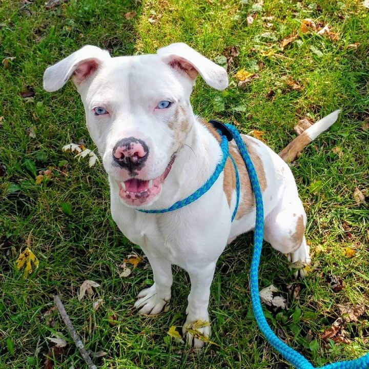 Chicago, an adoptable Pit Bull Terrier in Bloomington, IL