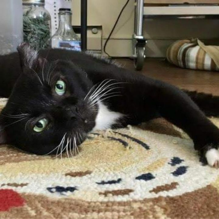 Big Tux, an adoptable Domestic Short Hair in Warminster, PA