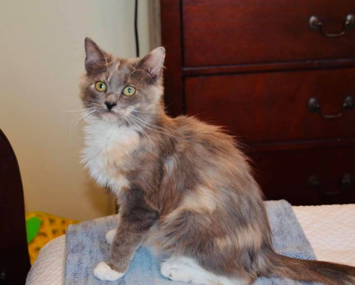 Sky, an adoptable Domestic Medium Hair in Millersville, MD