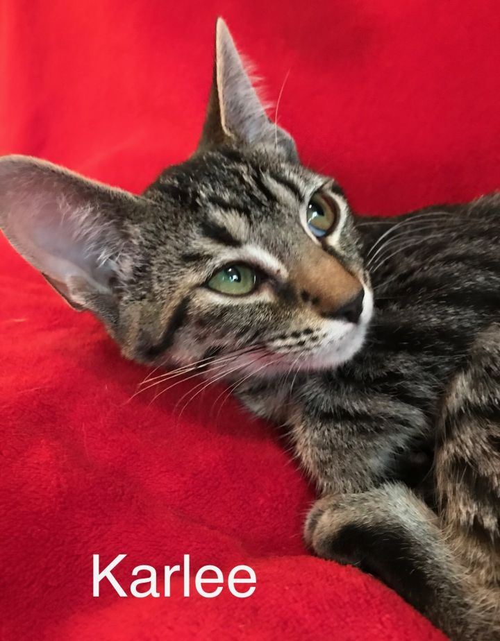 Karlee, an adoptable American Shorthair in Lincoln, IL
