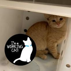Cat For Adoption Yam A Domestic Short Hair Mix In Janesville Wi Petfinder