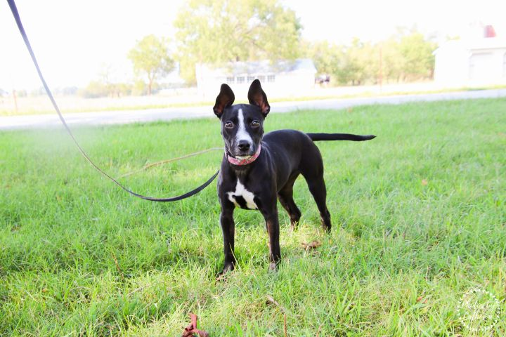 Maleficent, an adoptable Labrador Retriever Mix in Springfield, MO