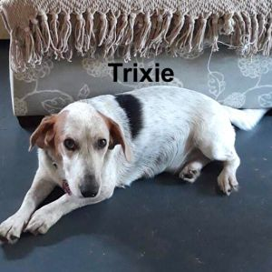 Meet 30 pound beagle mix Trixie She and her brother Tanner are losing their home through no fault o