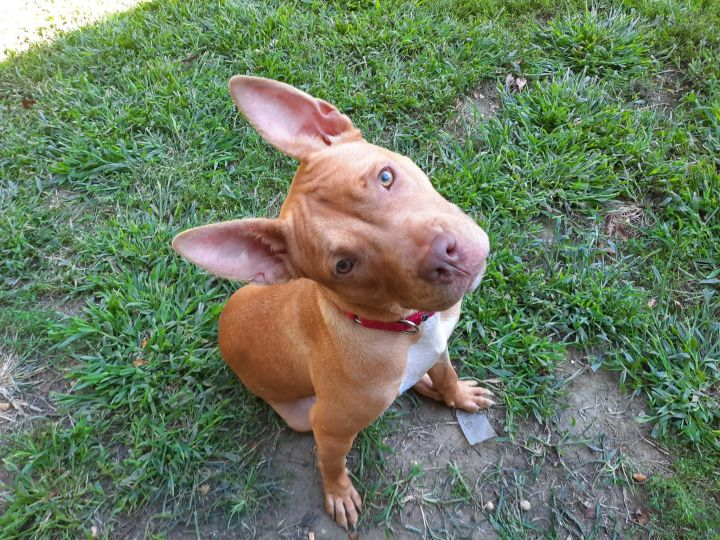 Casha GA Staffie Puppy 1