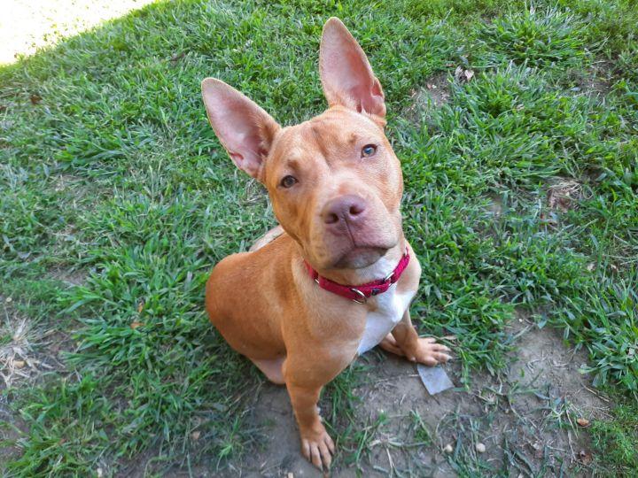 Casha GA Staffie Puppy 4