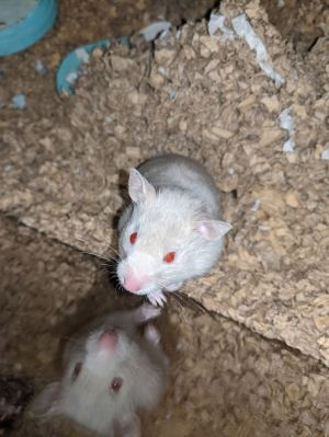 Pearl is a 5 month old female Syrian hamster with a birthday on August 1st 2020 Pearl was born wit