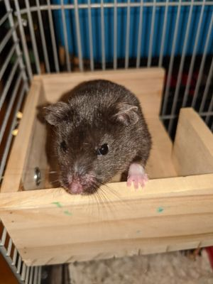 Obsidian is a 5 month old male Syrian hamster with a birthday on August 1st 2020 Obsidian was born