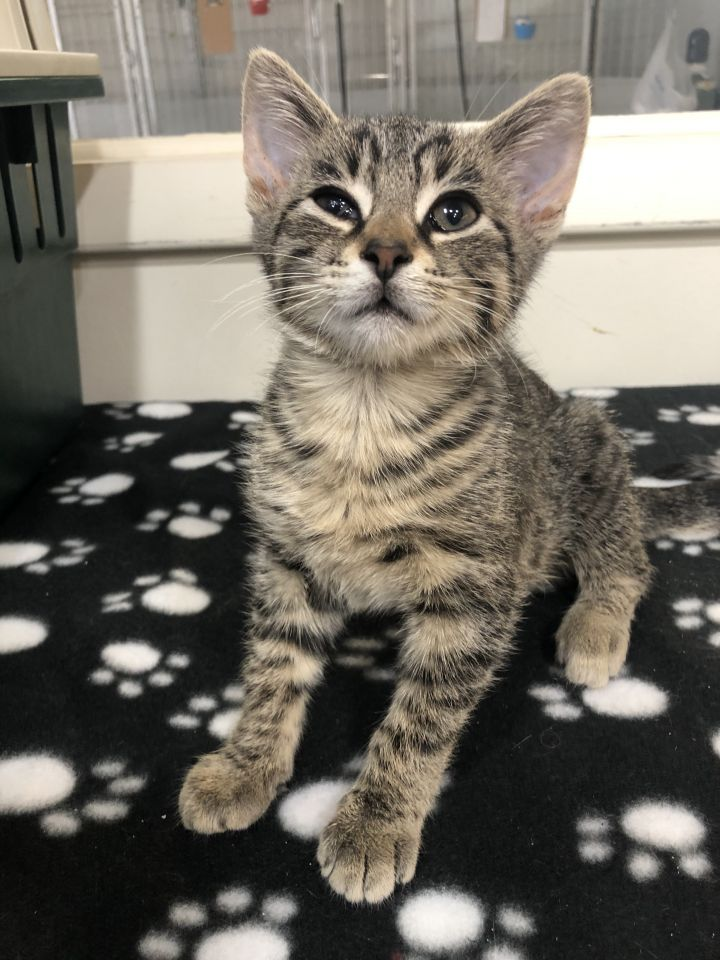 Sora, an adoptable Domestic Short Hair Mix in Springfield, MO