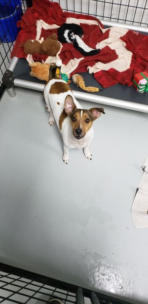 This is Patches He is a 4yr old male Jack Russell Terrier This handsome guy has ALOT of energy and