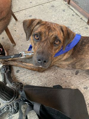 Meet Magenta a 1 year old 44 pound wonderful hound mix This endearing pup is
