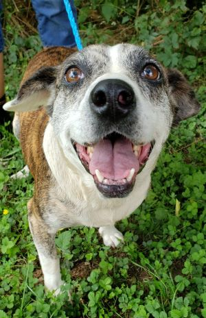 Meet Sashay a 7 year old super sweet 42 pound pittie mix This endearing pup is soft sweet lov