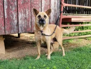 Meet Waya a 3 year old 54 pound Shepherd mix This endearing pup is soft sweet loving and dog