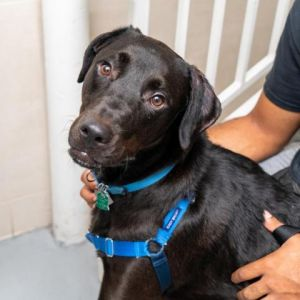 Victor is a big ol boy weighing in at 76lbs However he can be described as a big baby who