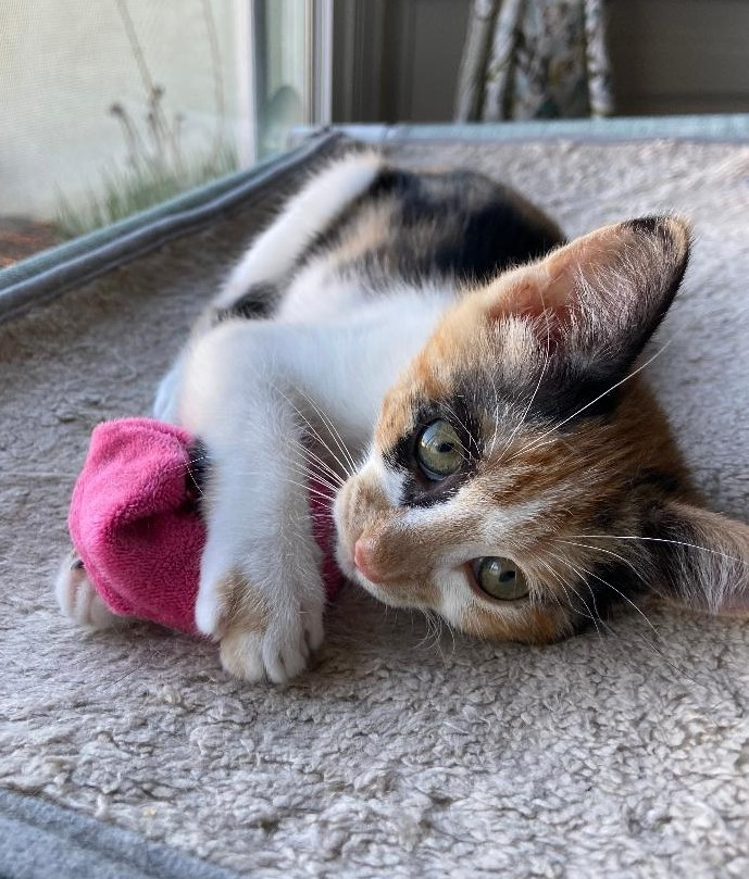 Maisy, an adoptable Domestic Short Hair & Calico Mix in Mission Viejo, CA