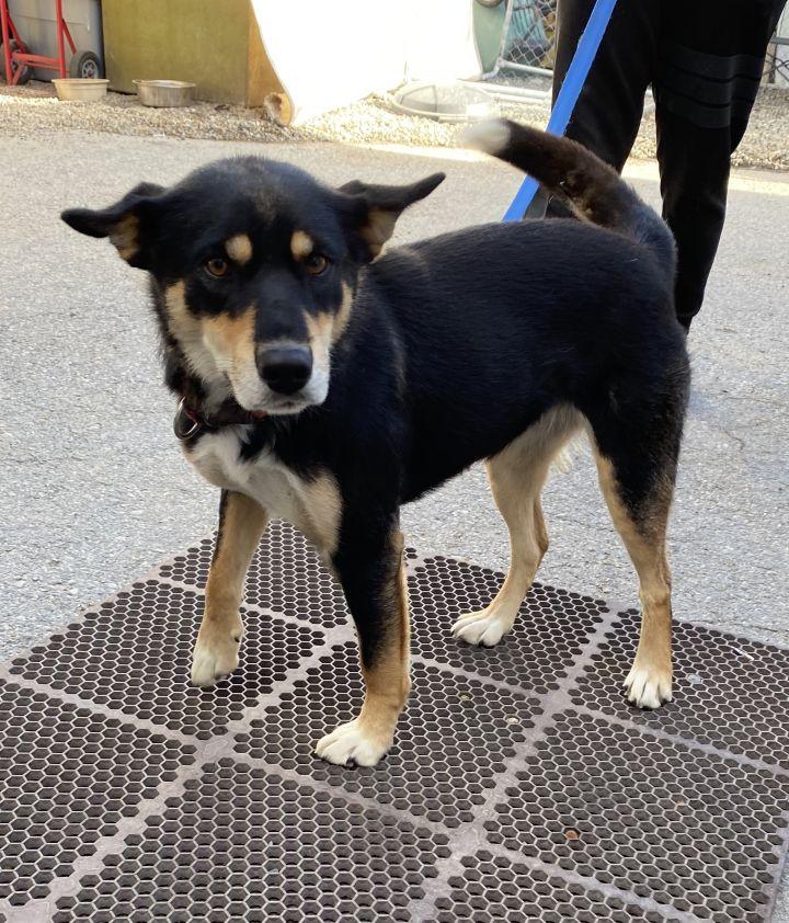 Dog For Adoption Nova A Husky Border Collie Mix In Billings Mt Petfinder