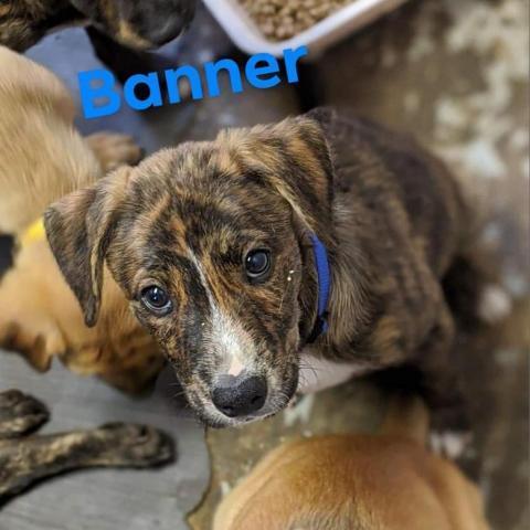 Dog For Adoption Banner A Cane Corso Rottweiler Mix In Flintstone Md Petfinder