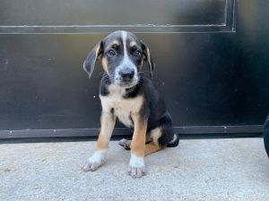 AMPLE 8 weeks old and 11lbs as of 82920 HuskyGerman Shepherd Mix Neutered Male Estimated to