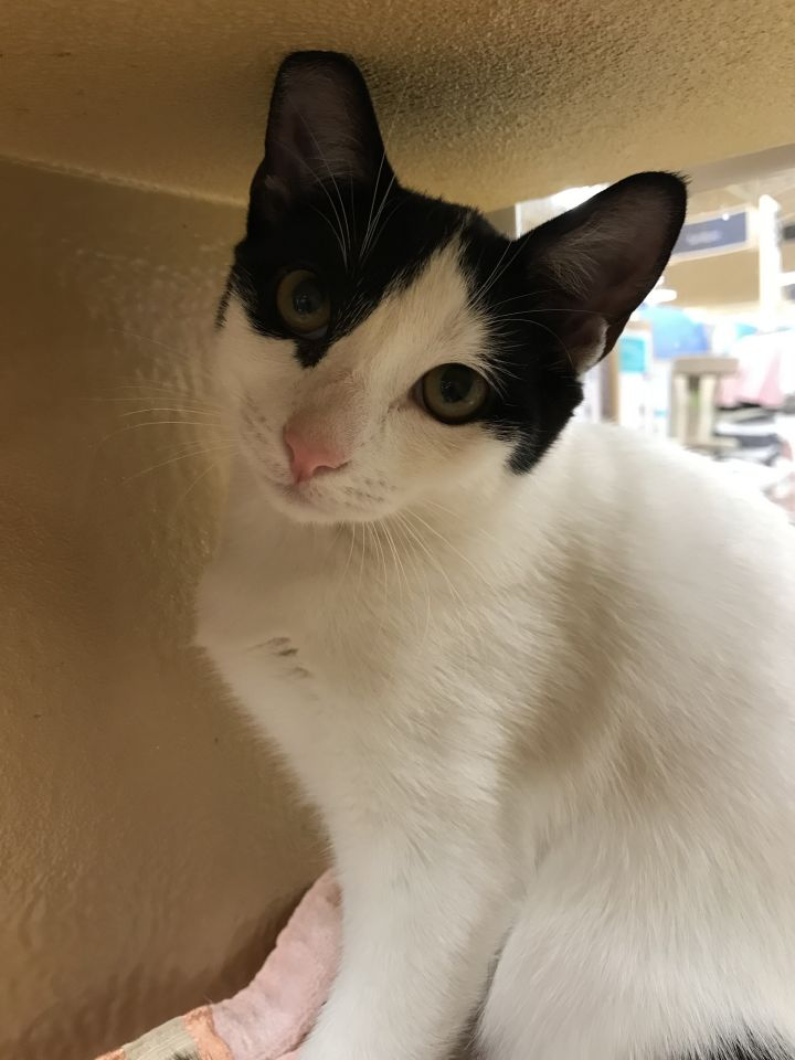 Grace, an adoptable Domestic Short Hair in Fort Lauderdale, FL